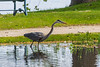 Heron in shallow water.