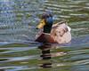 Duck on Turtle Pond.
