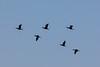 Probably cormorants