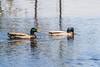 Ducks on Turtle Pond.
