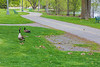 Geese and goslings at East Bayshore Park.