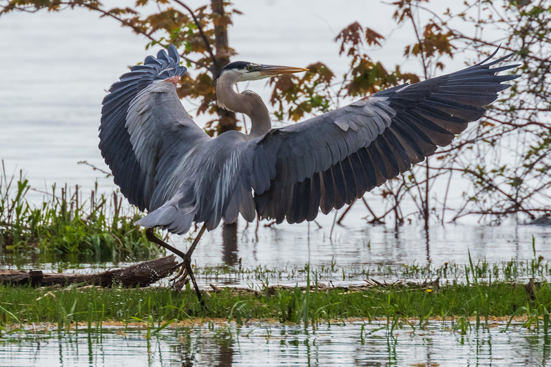 Heron with wings out after landing beside Turtle Pond.