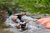 Bit of a squabble between ducks.