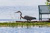 Heron walking at Turtle Pondp