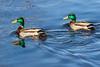 Two Mallard ducks on the Bay of Quinte.