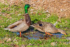 Two ducks on dry land.