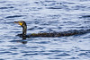 Cormorant on the Bay of Quinte. Vegetation on its back.