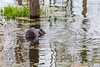 Beaver in Turtle Pond