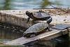 Turtles on raft