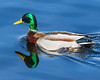 Mallard duck on the Bay of Quinte