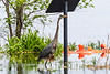 Heron walking on submerged pathway.