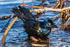 Grackle just out of the water.