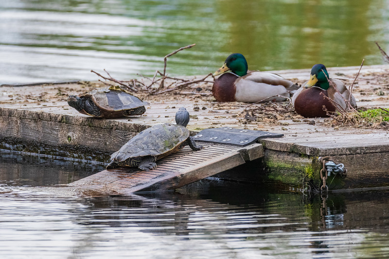 Turtles and ducks on raft