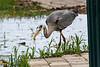 Heron fishing on submerged path.