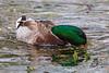 Duck feeding.