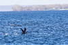 Cormorant taking off from the Bay of Quinte.