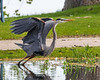 Heron taking off from Turtle Pond.