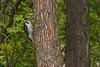 Woodpecker on a tree. Through glass.