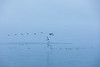 Geese flying over the Bay of Quinte on a cloudy morning 2019 October 31.