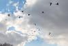 Geese overhead.