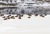 Geese sitting on ice along the Moira River in downtown Belleville Ontario. 2019 January 20.