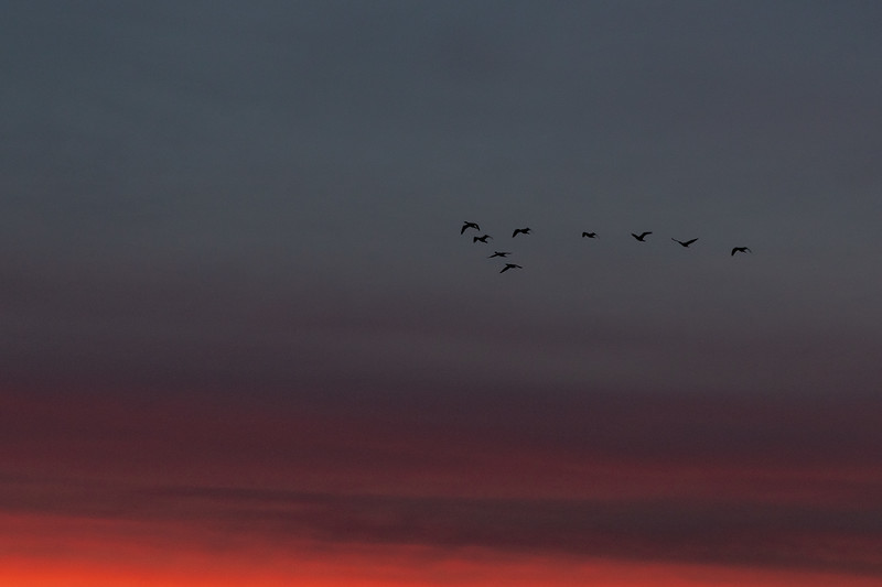 Geese in the morning sky