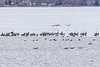 Geese along the edge of the ice on the Bay of Quinte 2020 December 31.