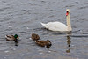 Ducks and swan on the Moira River 2020 December 31