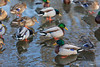 Ducks near Turtle Pond 2020 February 29