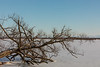 Fallen tree along the Bay of Quinte