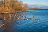 Geese along the Bay of Quinte near Turtle Pond 2020 December 2