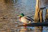 Duck on wood in Turtle Pond 2020 December 2