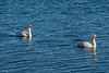 Two swans on the Bay of Quinte 2020 December 2