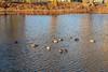 Ducks on Turtle Pond 2020 December 2