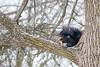 Black squirrel eating in a tree during falling snow 2021 February 2.