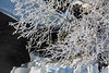 Ice on tree branches along the Moira River