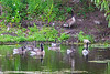Geese and goslings in the water