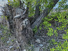 Overturned tree. Trees that grow on rocky land have shallow root systems.