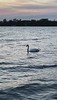 Swan swimming along the south shore of the Bay of Quinte at sunset 2021 May 31.