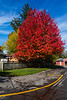 Red tree along west laneway 2021 October 27