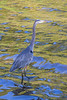 Heron along the Bay of Quinte