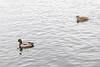 Ducks on the Moira River 2018 November 29.