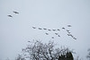 Long necked geese flying over cemetery.