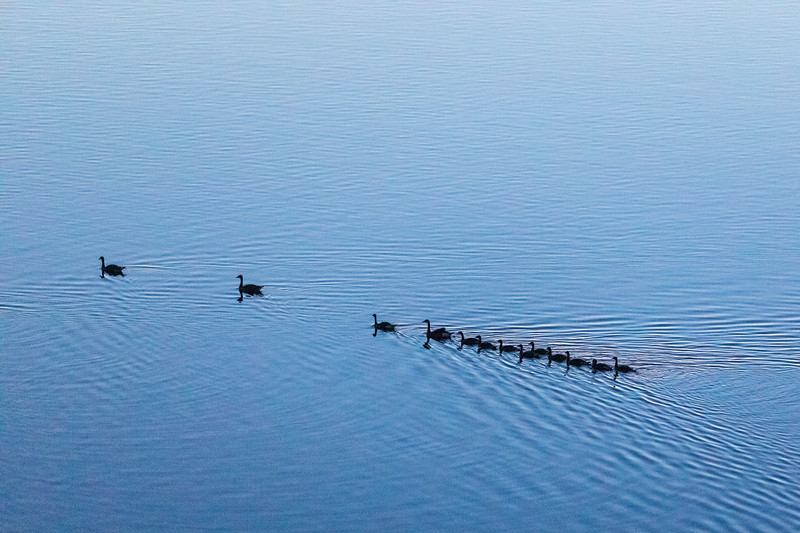 Geese out for a swim 40 minutes before sunrise. Very high ISO. Lightroom enhanced.