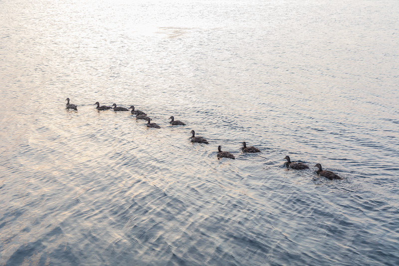 Ducks heading out into the Bay of Quinte after crossing breakwater.