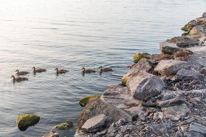 Ducks crossing breakwater