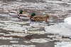 Ducks and ice on the Moira River.