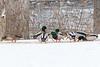Ducks along the Moira River 2019 January 18.