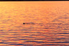 Beaver swimming on the Bay of Quinte before sunrise. Water reflects the sky.