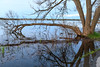 Tree branches at West Zwicks Park dipping into the Bay of Quinte.